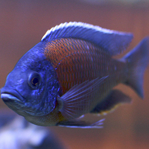 tropical-treasures-african-cichlids