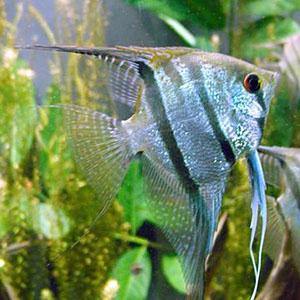 tropical-treasures-angelfish