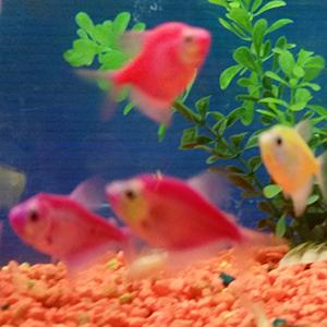 tropical-treasures-glo-fish-1