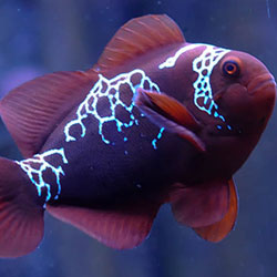 tropical-treasures-lightening-maroon-clownfish